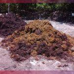 Toneladas de sargazo en Cancún son depositadas en tiraderos clandestinos