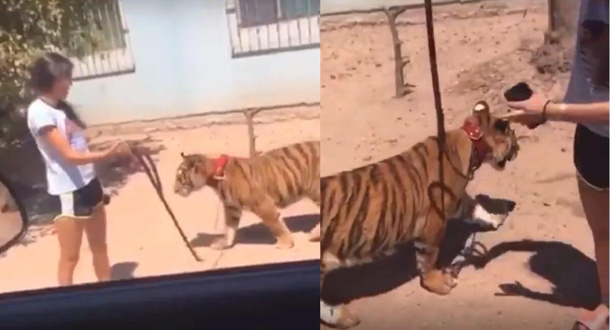pasea tigre guasave