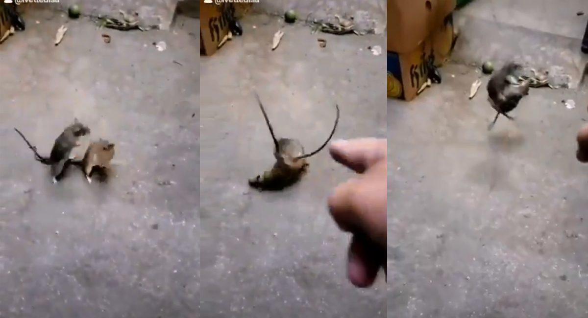 pelea de ratas