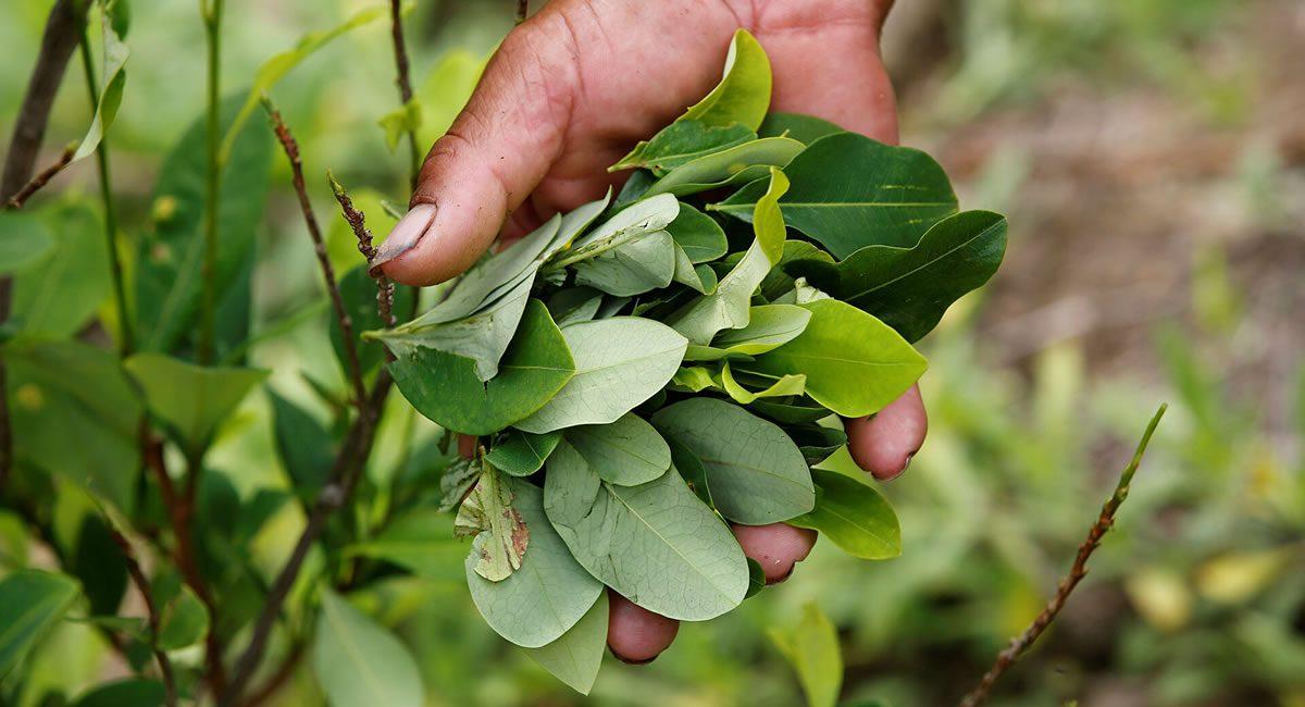 planta coca